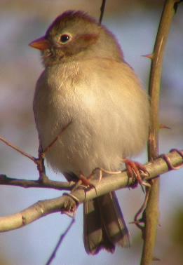 Field_Sparrow_Stone_cropped.jpg