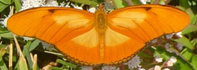 Link to Julia Heliconian on Butterflies and Moths of N. America web site.