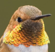 Link to Greg Lasley's page for Rufous Hummingbird.