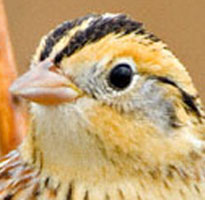 I was standing beside Greg when he took these Le Conte's Sparrow pics at Attwater P.C. NWR!