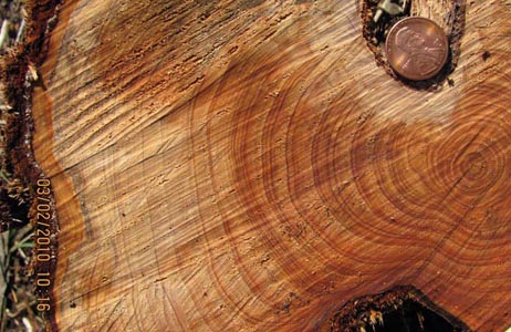 Juniper Growth Rings1_sm.jpg