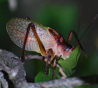 Dave Morgan's pic of a red katydid at the Flying X.