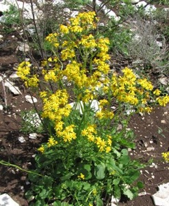 Golden Groundsel in the burn unit.