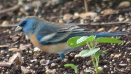 Judy Bell's Lazuli Bunting - 1st photo documentation for Refuge
