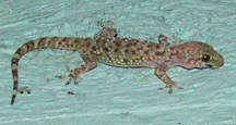A Mediterranean Gecko on my own front porch in Austin.
