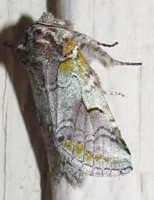 A colorful Noctuid moth.