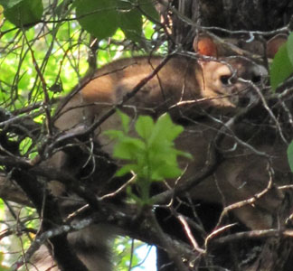 A Ringtail high in a tree.