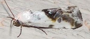 Tarachidia candefacta; known by the very descriptive name of 'Olive-shaded Bird-dropping Moth'.