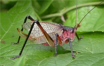 Mike Quinn's pic of a pink form Red Katydid