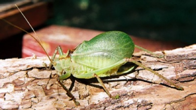 Maury J. Heiman's pic of a green-form Red Katydid from Medina Co. a few years ago.